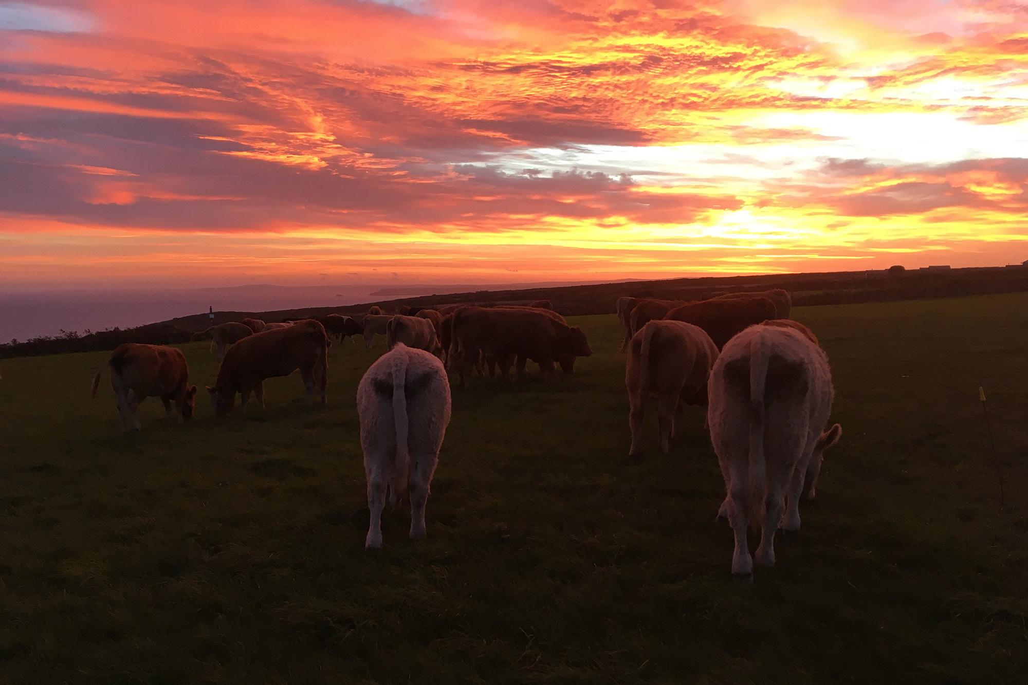 trevalgan farm sunset-cows
