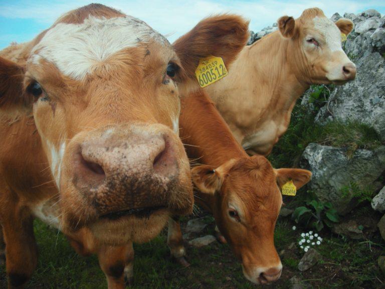 Trevalgan Farm - Cows